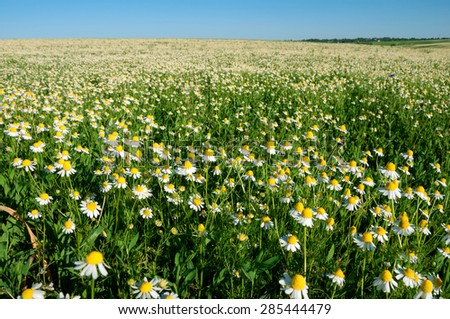 Field of camomile flowers - stock photo