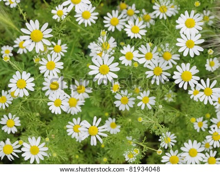 Field of Camomile (Matricaria recutita). Background - stock photo
