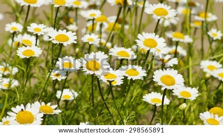 Field of camomiles flowers