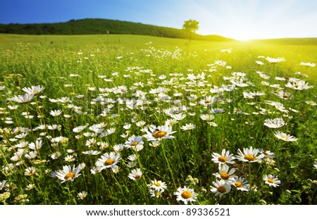 field of camomiles on a background sunset - stock photo