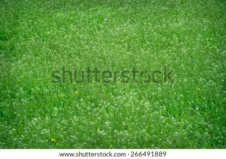 Field of Capsella bursa-pastoris, or other name shepherd's-purse in early spring. - stock photo
