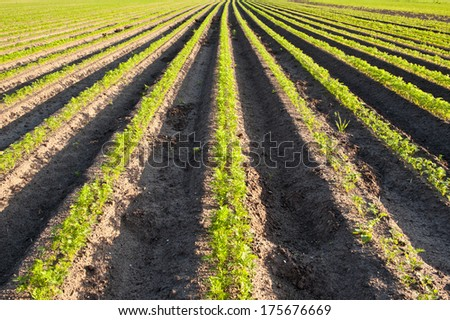 Field of carrot beds