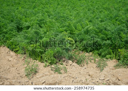 Field of Carrot in the western part of Germany.  - stock photo