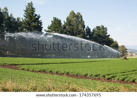 Field of Carrots with irrigation sprinkler watering the plants - stock photo