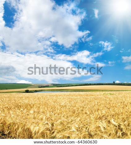 field of cereal wheat under sunny sky - stock photo