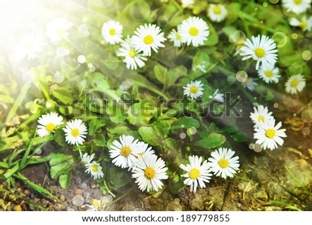 Field of chamomile flowers in the sunshine, Spring background