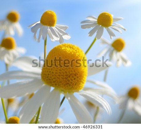 Field of chamomiles - stock photo