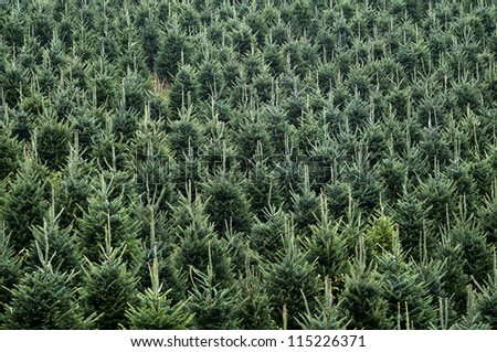 Field of Christmas Trees Close Up for Background Horizontal - stock photo