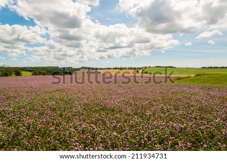 Field of clover flowers in bloom (Green Gables Shore; Prince Edward Island; Canada) - stock photo