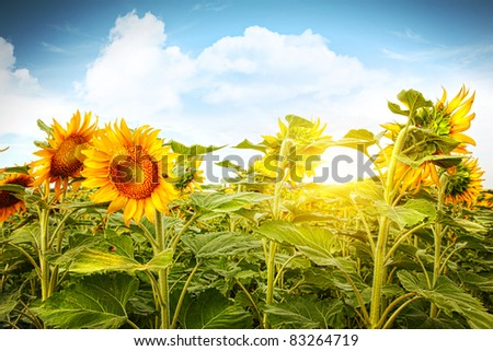 Field of colorful blooming sunflowers and blue sky - stock photo