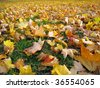 Field of colorful fall leaves in Ann Arbor, Michigan - stock photo