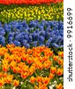 Field of colorful hyacinths and tulips - stock photo