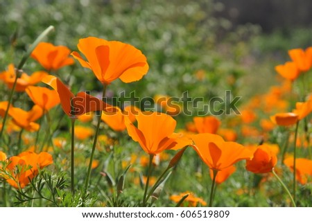 field colorful poppies stock photo   shutterstock, Beautiful flower
