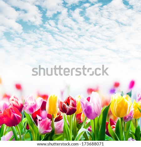 Field of colourful spring tulips growing in a field under a beautiful blue sky with scattered fluffy white clouds in square format - stock photo