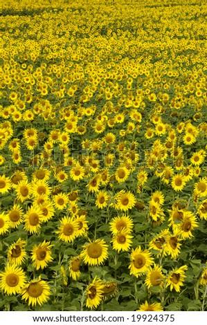 field of colza - stock photo