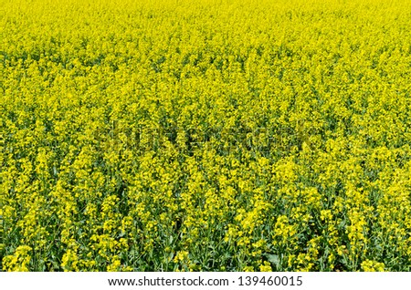 Field of colza flowers during the spring - stock photo