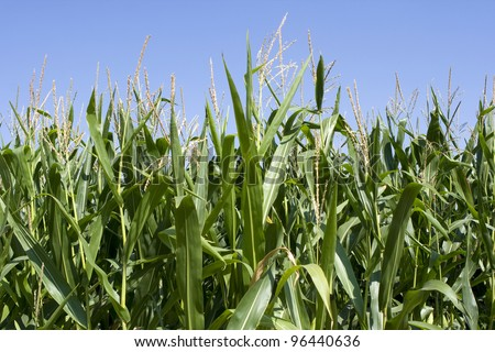 Field of corn against cloudy blue sky