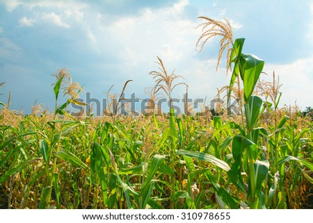 field of corn against the blue sky - stock photo