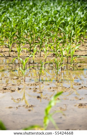 Field of corn flooded by heavy rains and suffering crop damage on a farm in the midwest United States. - stock photo