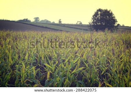 Field of corn in afternoon light with old retro vintage effect - stock photo