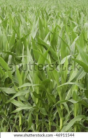 Field of corn in mid July, northern Illinois - stock photo