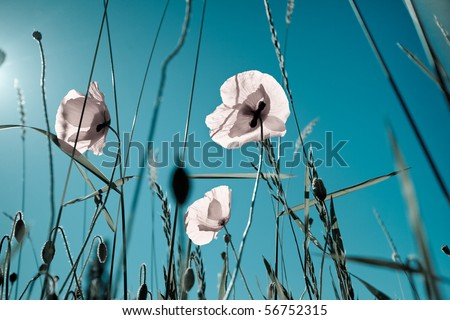 Field of Corn Poppy Flowers - stock photo