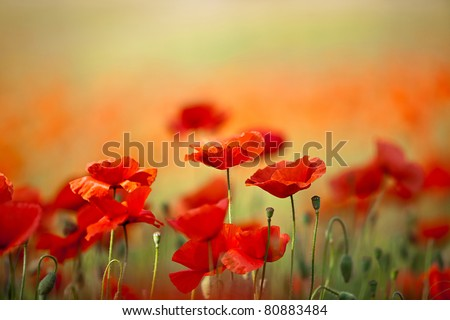 Field of Corn Poppy Flowers Papaver rhoeas in Spring - stock photo