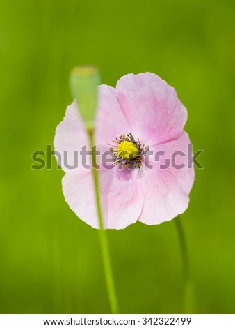 Field of Corn Poppy Flowers Papaver rhoeas in Spring ( Papaveraceae family )  - stock photo