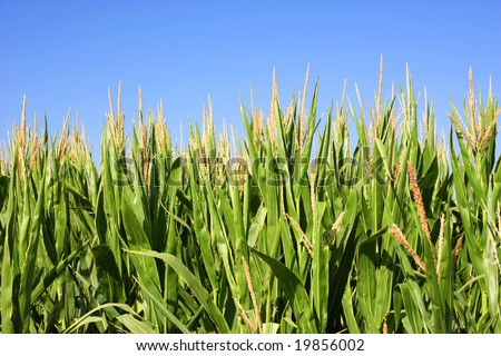 Field of corn with a blue sky on a summer day