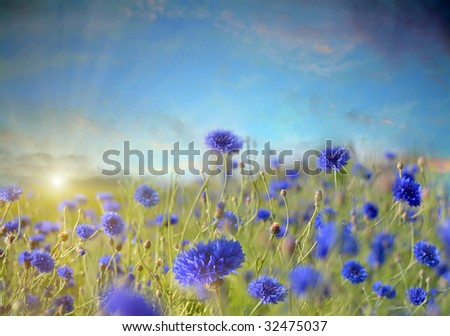 Field of cornflowers - stock photo