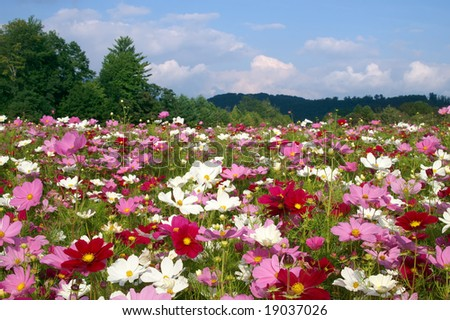 Field of Cosmos Flowers, Ashe County, North Carolina, Horizontal - stock photo