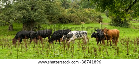 Field of cows enjoying the lush green pasture