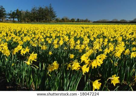 field of daffodils - stock photo