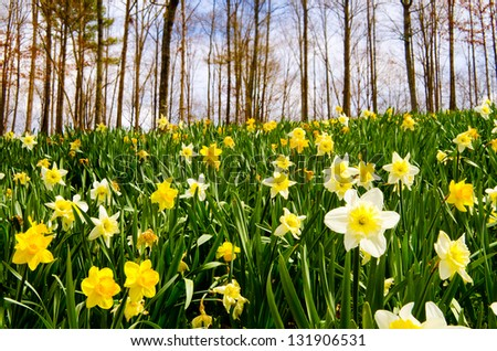Field of daffodils blooming in early spring - stock photo