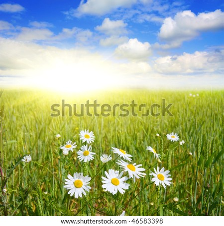 field of daisies and blue sky
