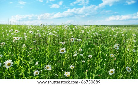 Field of daisies and blue sky. - stock photo