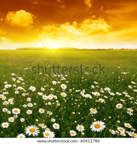 Field of daisies and red sunset. - stock photo