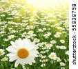 Field of daisies and sun. - stock photo