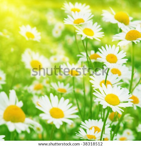 Field of daisies and sunny day.