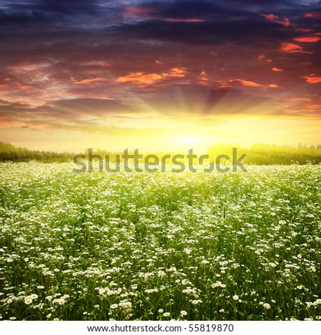 Field of daisies at sunset. - stock photo