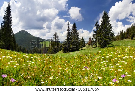 Field of daisies blooming in the mountains in summer - stock photo