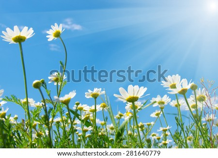 Field of daisies,blue sky and sun. - stock photo