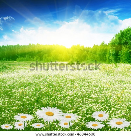 Field of daisies,forest and sun. - stock photo