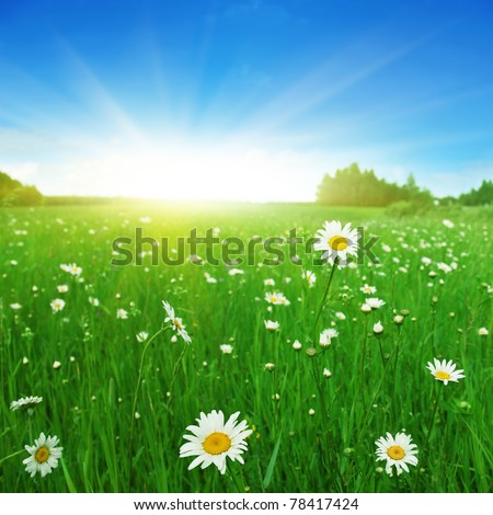Field of daisies in summertime.
