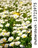 Field of daisies in the spring time sun - stock photo