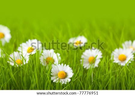 Field of daisy - stock photo