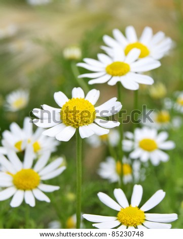 Field of daisy camomile (Matricaria recutita) - stock photo