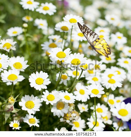 Field of daisy flower and Butterfly in flight - stock photo