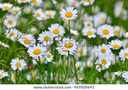 Field of daisy flowers, dasy background