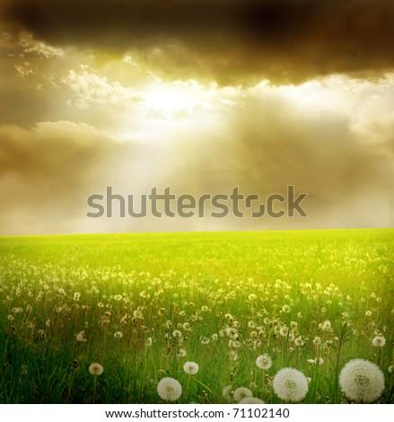 field of dandelion - stock photo
